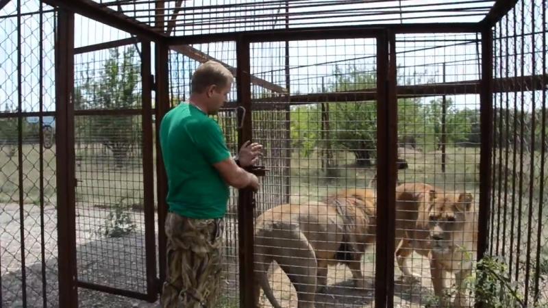 Львицу которая в Саванне не отдавала нам малышей выпустили погулять Тайган