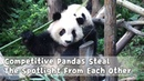 Competitive Pandas Steal The Spotlight From Each Other   iPanda