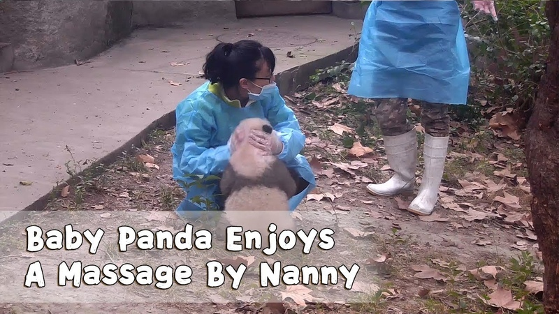 Baby Panda Enjoys A Massage By Nanny iPanda