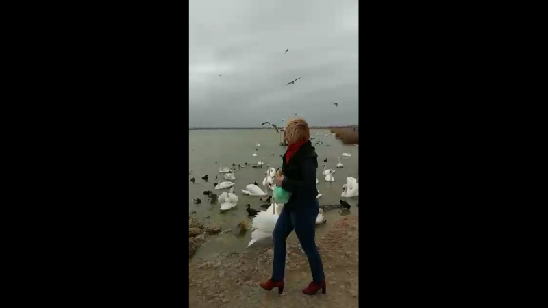 Кормление лебедей