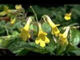 Цветок хирита