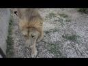 Как Малыш не захотел покидать вольер Мамы Чоли. The lion refused to go free