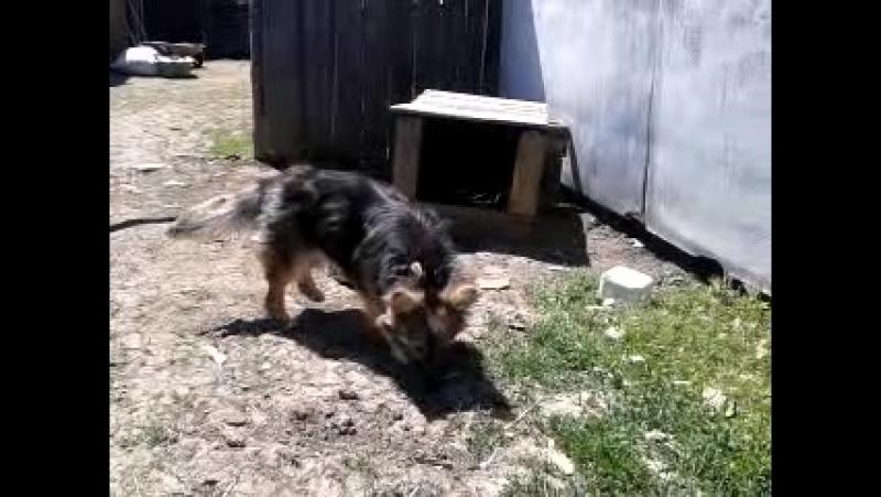 Сторожевой пёс–не покусает,но залижет досмерти