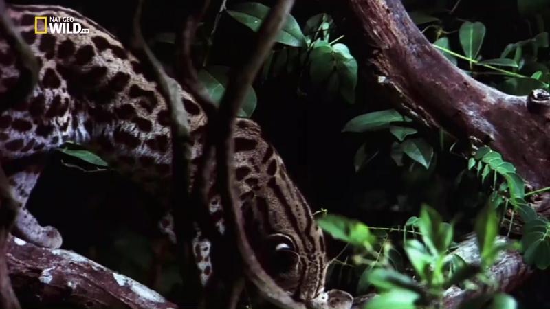 Nat Geo Wild: Самые опасные убийцы: Ночные сталкеры (2013) HDTV 1080i