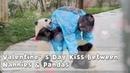 Valentine's Day Kiss Between Nannies Pandas   iPanda