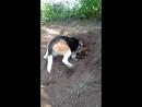 Бигль в огороде)