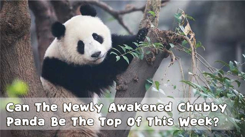 Panda Countdown Can The Newly Awakened Chubby Panda Be The Top Of This Week iPanda