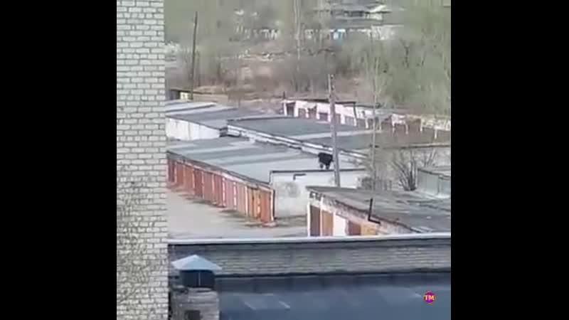 «Кто сказал, что в Серове ничего не происходит» Жители Серова сняли, как по крышам гаражей гуляет корова.