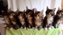 Подборка! Смешные танцы кошек! Кошки танцуют!