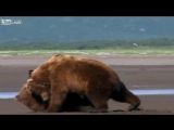 Liveleak.com - The UFC championship of Grizzly Bear Fights