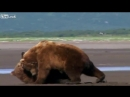 Liveleak - The UFC championship of Grizzly Bear Fights