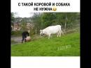 Это корова в прошлой жизни собакой была😙😂😂
