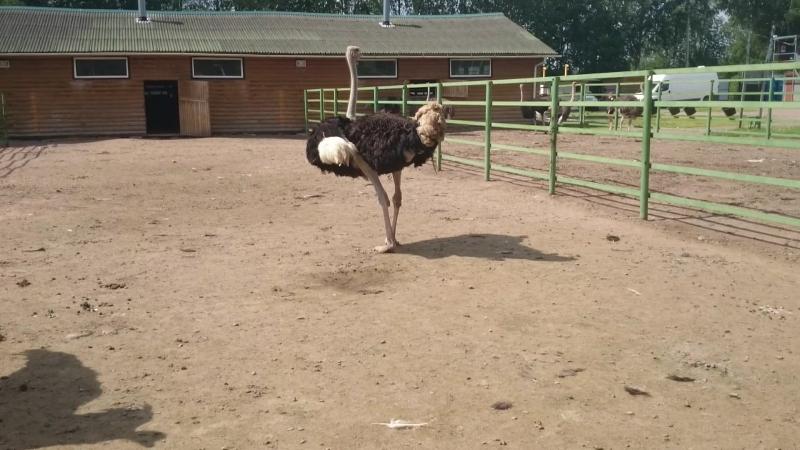 Попытка снять танец страусов