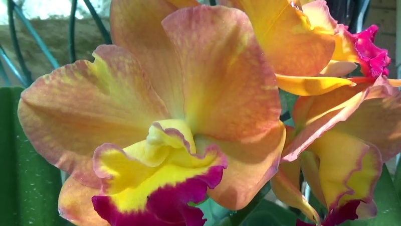 Цветение Мая Осень в Австралии Каттлеи Ванды Онцидиум Вилсонара