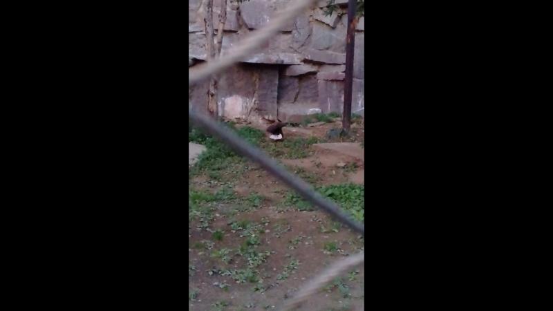 Крик белохвостого орлана