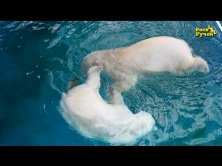 Белые медведи Феликс и Аврора купаются