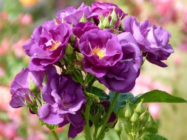 Роза сорта ,,Rhapsody in Blue,.