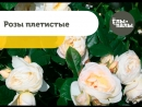 О плетистых розах крупномеры