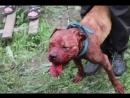 Питбуль собачьи бои в Кызыл Аскере бои под музыкой.mp4