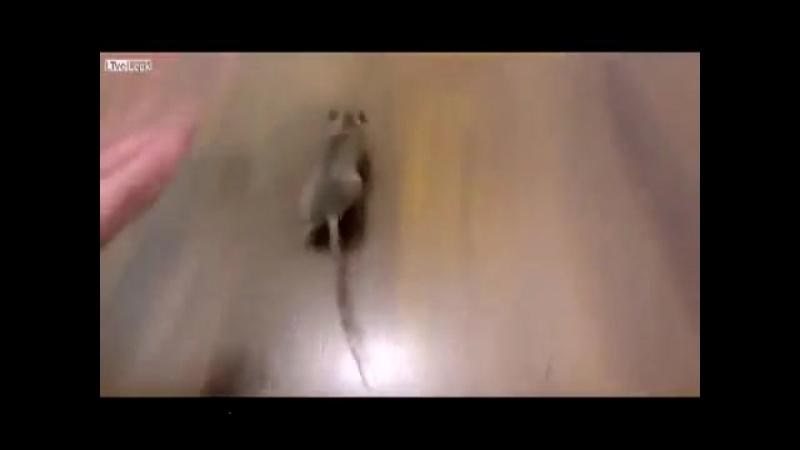 Смышленый крысеныш
