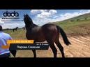 Сатылатын Кокпар аттар - Лошади / кони