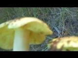 Зеленушка, чем она опасна! Жареный очень вкусный гриб-ze-zelenushka-jar-gr-grib-sport-qqq-scscscrp