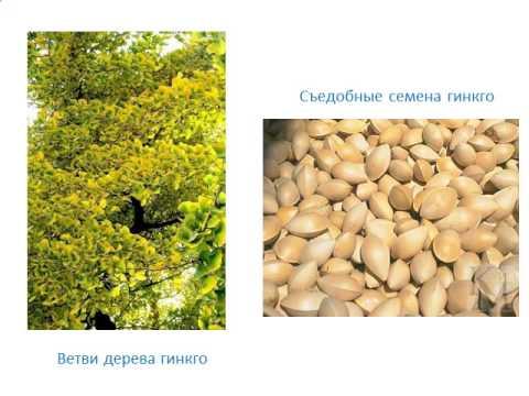 Презентация Отдел Голосеменные растения
