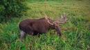 Самец лося из Лосиной долины в Калининградской области