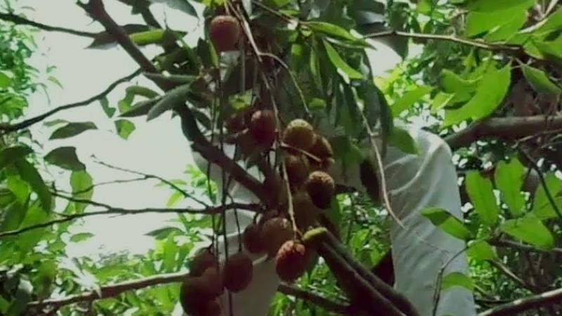 লিচুর বাংলাদেশ গ্রামে কৃষিকাজ কিভাবে একট24