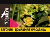 🏵️ Полезная красавица бегония - 7 дач