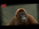Весёлая ,танцующая обезьяна ..mp4