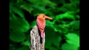 Малайский лесной зимородок