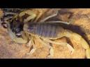 Пустынный волосатый скорпион VS Паук волк