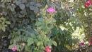 Питомник роз Полины Козловой, подкормки и обработки роз