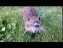 Милые водяные крысы
