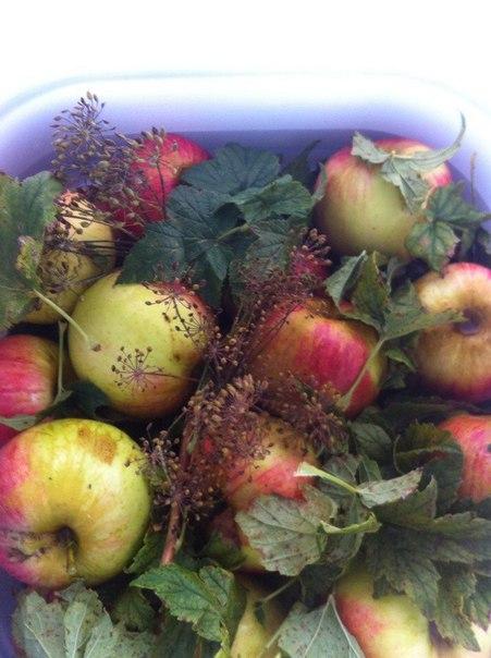Моченые яблоки.