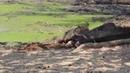 Нильские крокодилы отобрали добычу у львицы