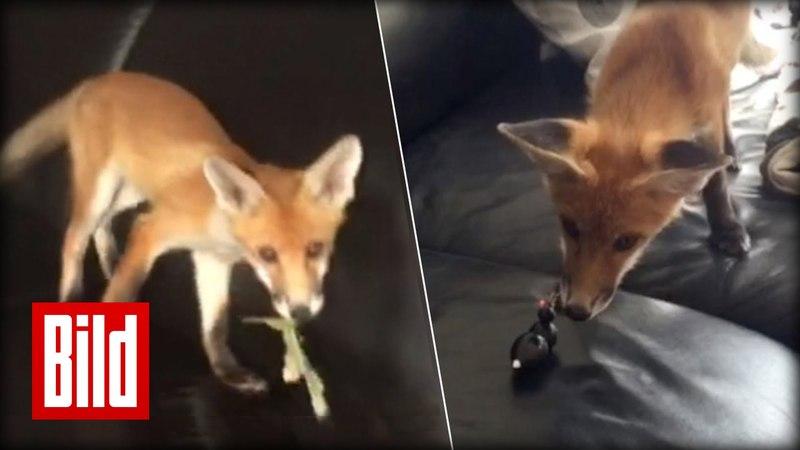 Fuchs im Wohnzimmer - Familie nimmt Findel-Tier auf