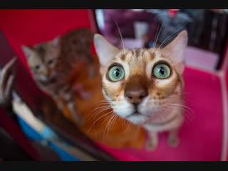 В Курске прошла международная выставка кошек