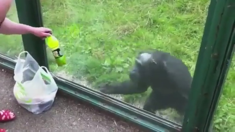 Smart Chimpanzee Asks A Visitor For Mountain Dew