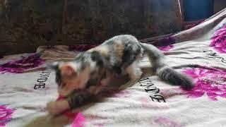 АURORA STRAZH SIBIRI 4 мес for sale 89025150901