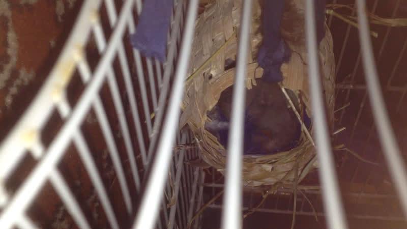 Амадин Райс кормит птенцов в гнезде