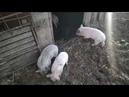 Выгодно ли держать свиней