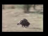 Обезьяны сбегают на кабане мото звук