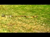 Смелая белка напала на опасную змею