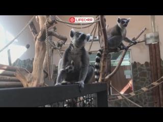 Детеныш лемура родился в Ростовском зоопарке