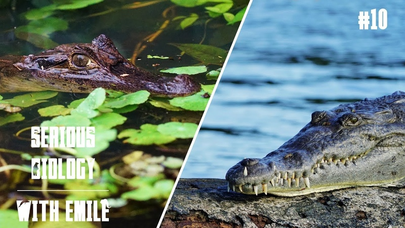 How to tell a caiman from a crocodile: Spectacled caimans American crocodiles - Serious Biology 10