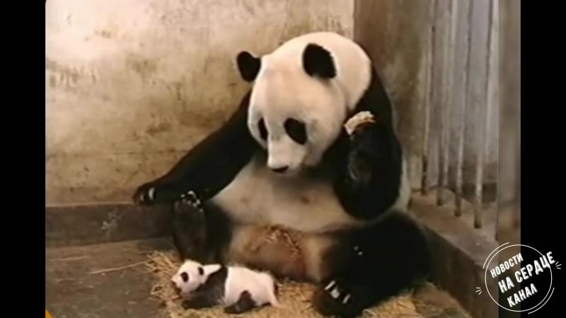 Панда всегда радует