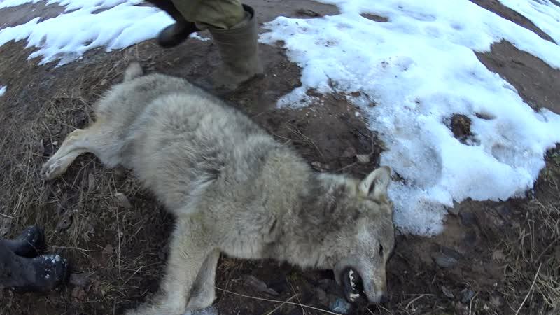 волчица 18г