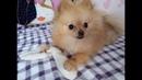 Что нужно для появления ЩЕНКА в доме У меня появилась собака Померанский шпиц цвергшпи